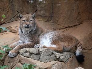 オオヤマネコ 日本 動物園