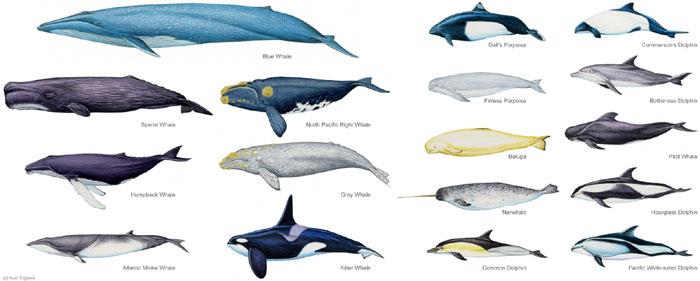 ザトウクジラの画像 p1_31