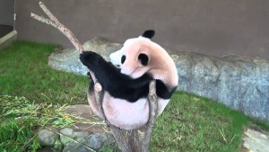 【長編】パンダがぬぬぬっと木から落ちる!